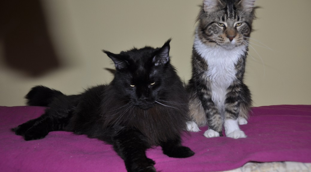 Koty | Maine Coon | Cats | Kocury | Fluffy Coons *PL