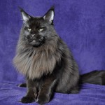 Mietek | Maine Coon | black solid