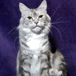 Stasia - CH Cinderella Fluffy Coons * PL, maine coon