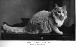 Maine Coon Tobey