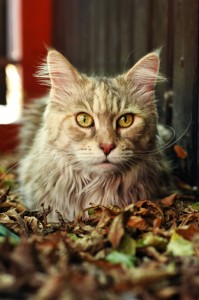 Edzia | Maine Coon | Fluffy Coons *PL