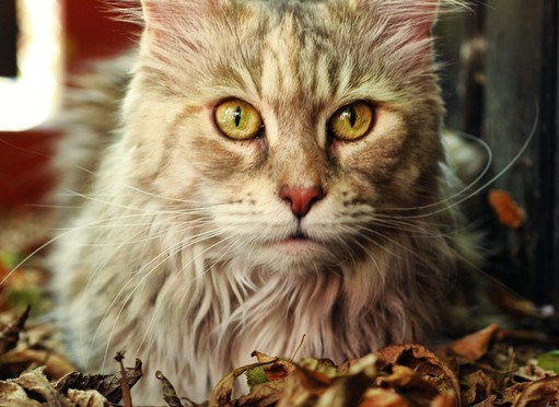 Maine Coon Cytat Quote