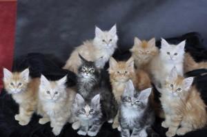 Kocięta | Maine Coon | Kittnes