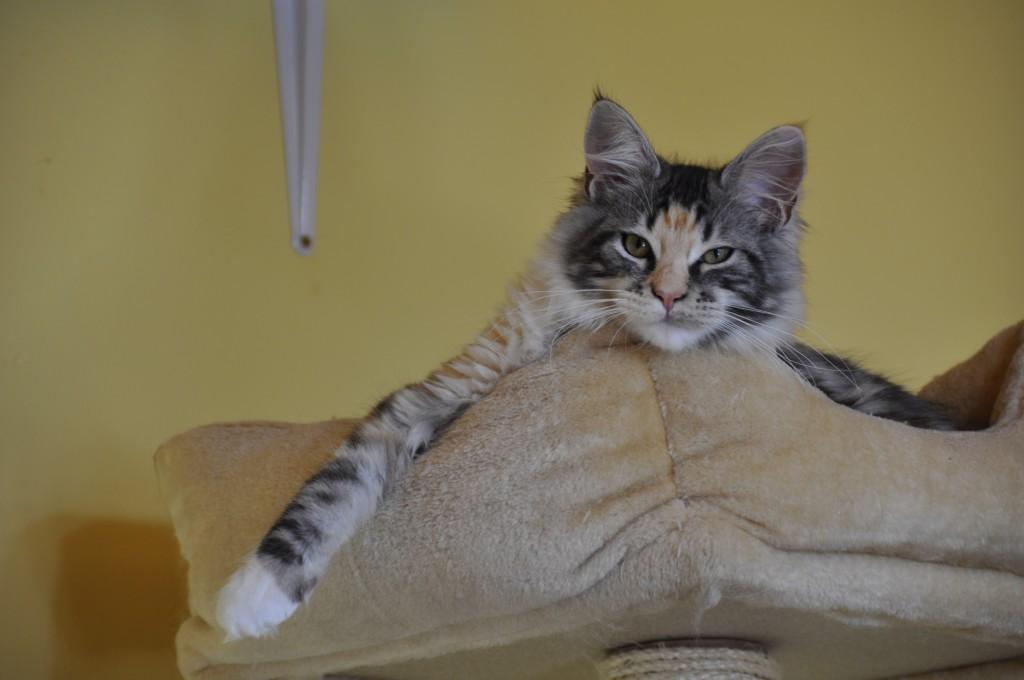 Maine Coon | Kocięta | Kittens | Fluffy Coons | Zdjęcia | Photos