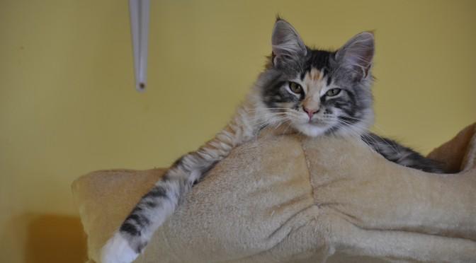 Nudzę się! Pobawisz się ze mną? | I'm bored! Wanna play with me? | Kocięta | Maine Coon | Kittens