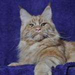 Tolek - CH KILL BILL Fluffy Coons * PL, maine coon