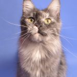 XIXI Fluffy Coons *PL - maine coon