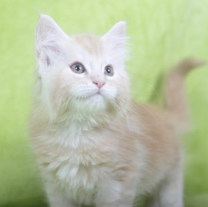 SEBASTIAN Fluffy Coons* PL, maine coon