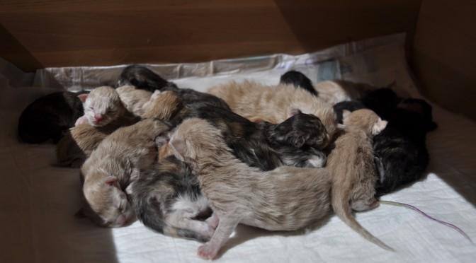 Urodziły się wspaniałe kocięta Maine Coon! | Wonderful Maine Coon kittens were born!