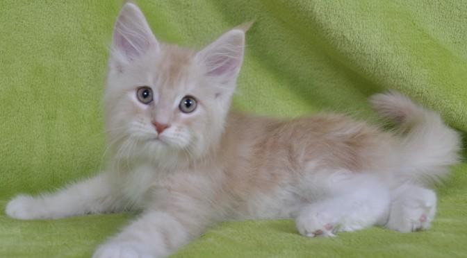 Tydzień odjazdów kociąt Maine Coon | A week of Maine Coon kittens departures