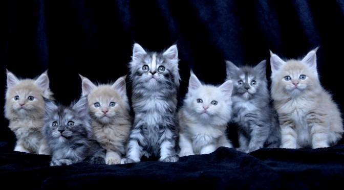 Nowe zdjęcia kociąt Maine Coon z miotu X | New photos of Maine Coon kittens of litter X