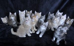 Kocięta | Maine Coon | Kittens