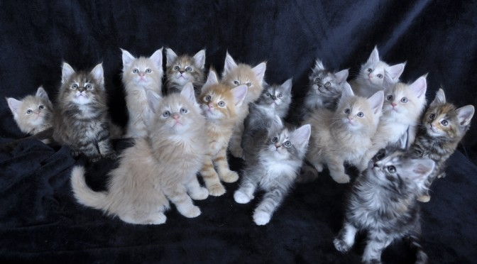 Mamy dostępne kocięta Maine Coon! | We have Maine Coon kittens available!