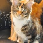 Ziuta | maine coon | kitten