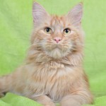 Princess | Maine Coon | red solid