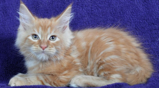 "Dostępne kocięta Maine Coon z miotu ""E"" 