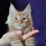 Eagle | maine coon | kitten