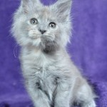 Eva | maine coon | kitten