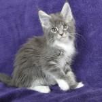 Dafne | maine coon | kitten