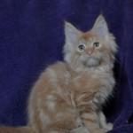 Ernest | maine coon | kitten