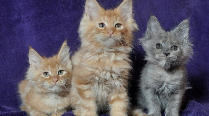 Mamy dostępne kocięta! | Maine Coon | We have kittens available!