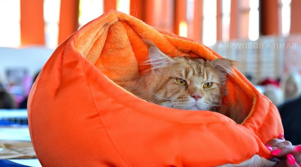 Deray Maine Coon Cat