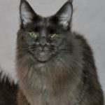 IC Celina Fluffy Coons *PL - maine coon, cat