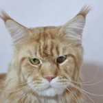 Deray Maine Coon