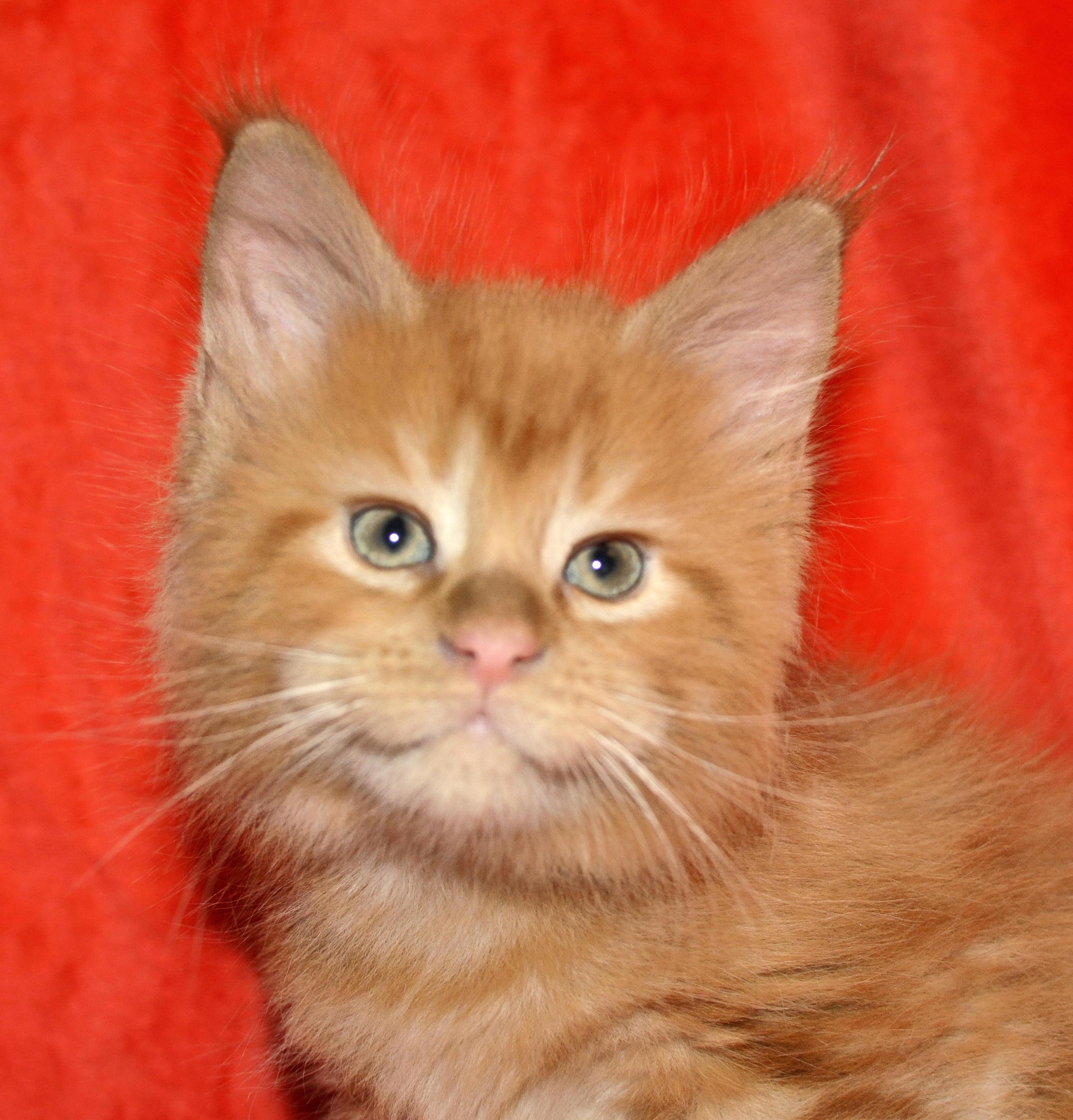 Kocięta   Maaine Coon   kittens