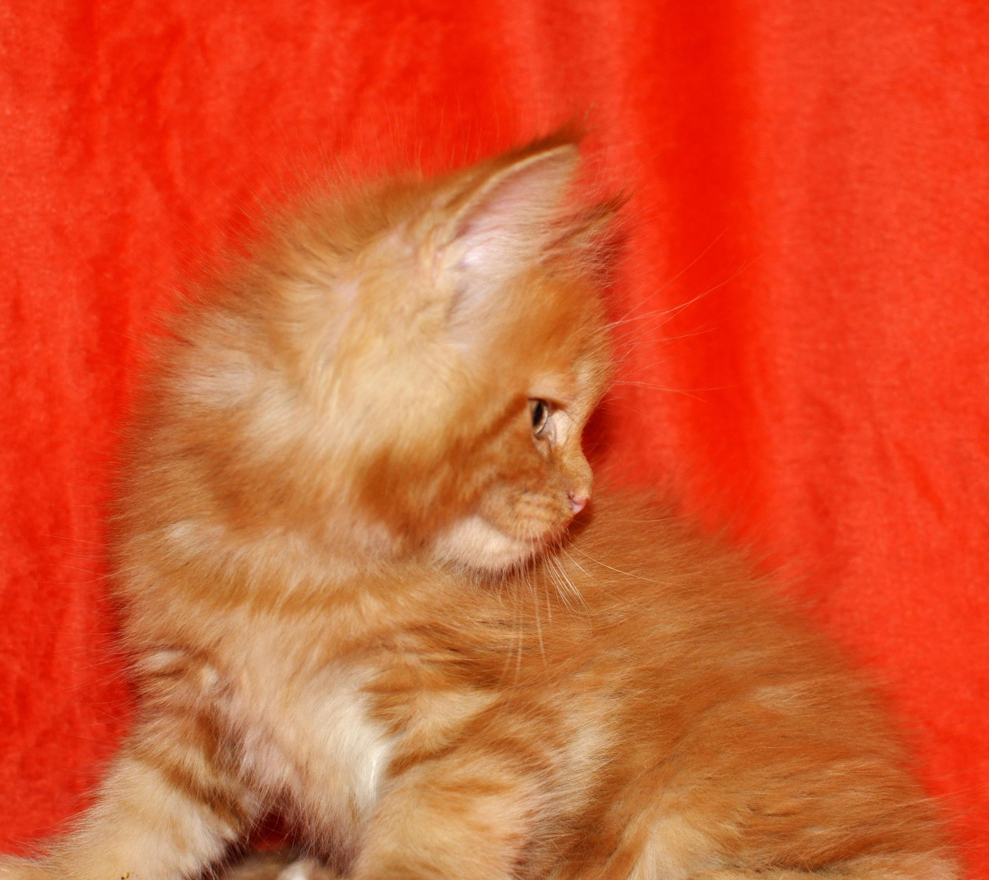 Kocięta | Maaine Coon | kittens