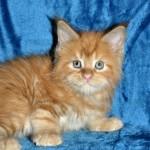 Kocięta|Maine Coon|Kittens