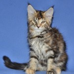 Finezja |maine coon |kitten
