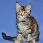 Finezja |maine coon |kitten