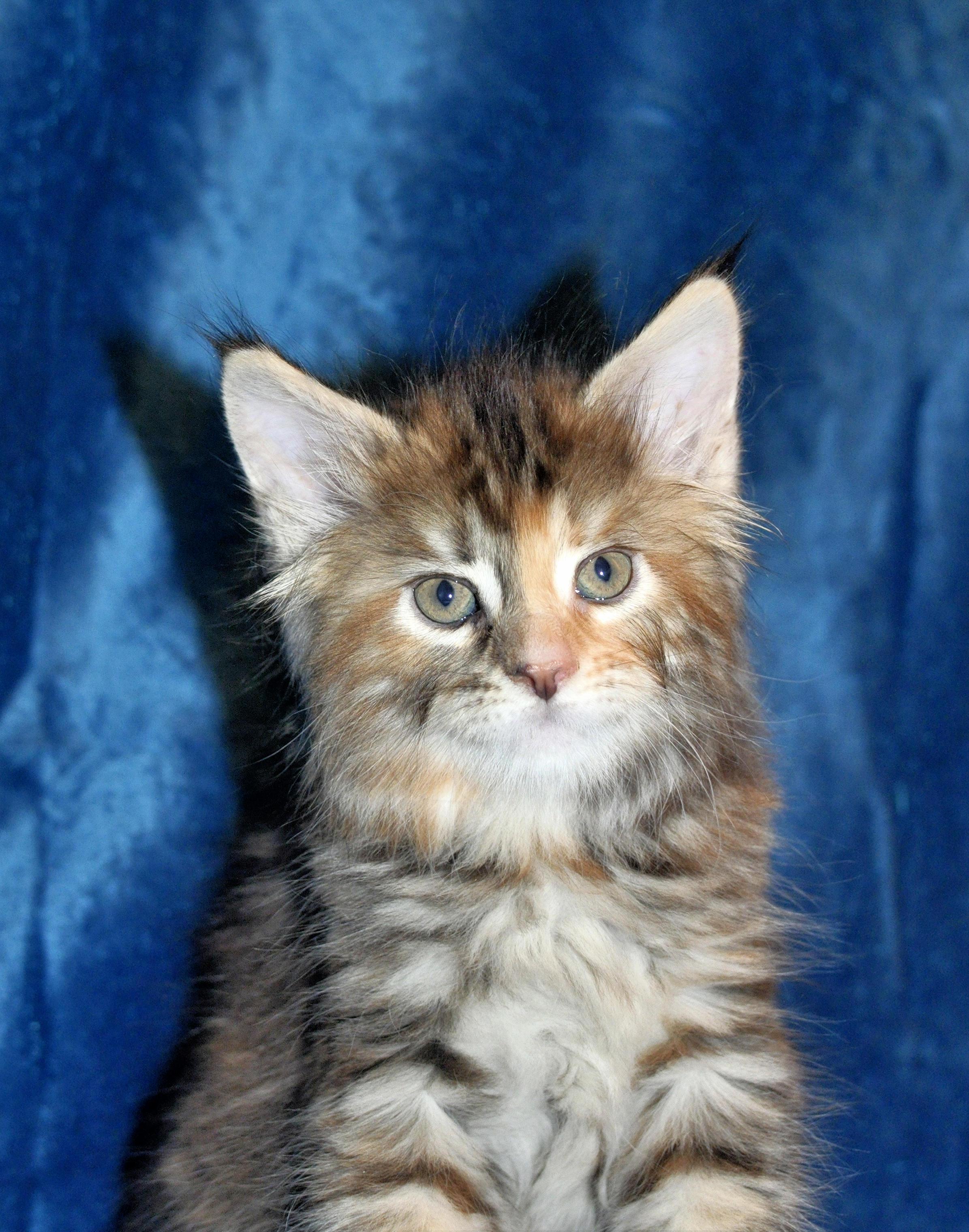 Kocięta Maine Coon Kittens
