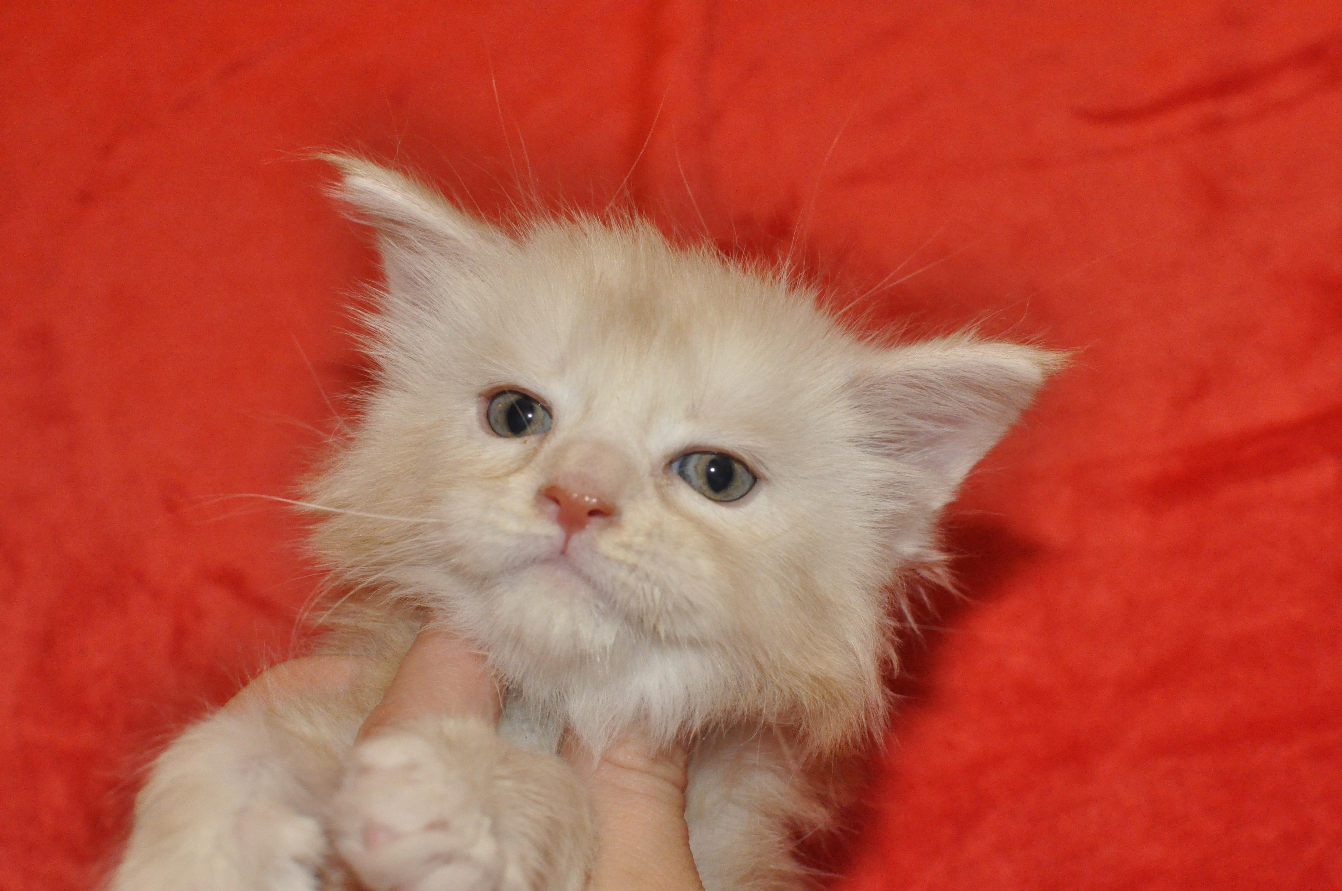 Gucio   maine coon   kitten