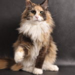 Omega - maine coon