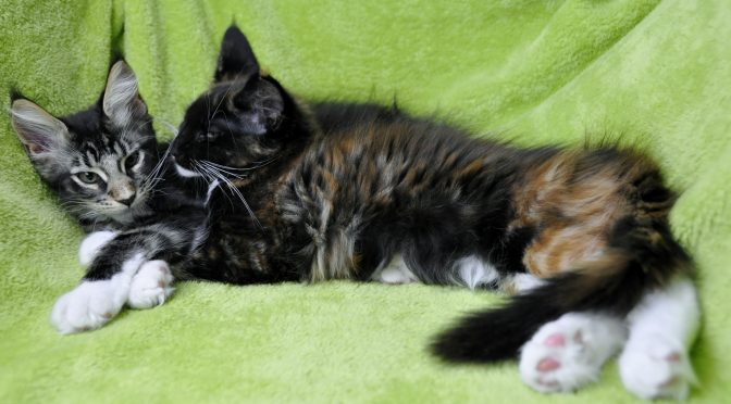 Mamy dostępne śliczne kociaki | We have available cute kittens