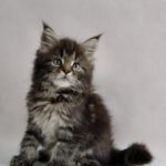 Ursus Fluffy Coons *PL - Maine Coon