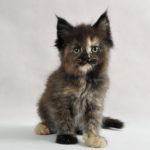 ULALA Fluffy Coons *PL - Maine Coon
