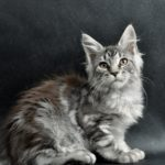 Waiana Fluffyn Coons *PL - maine Coon