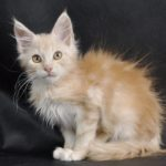 Wacek Fluffy Coons *PL - maine coon