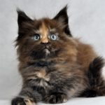 Zeta Fluffy Coons *PL - Maine Coon