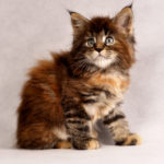 Zosia Fluffy Coons *PL - Maine Coon
