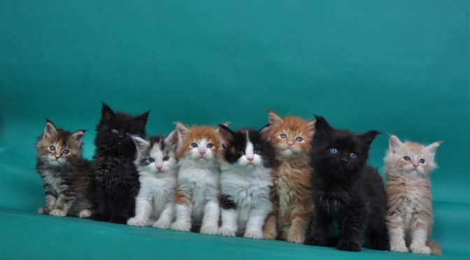 Dostępne kocięta | Available kittens