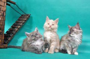 Kocięta z miotu C3 | kittens of C3 litter
